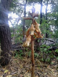 Gastrodia procera or Tall Potato Orchid